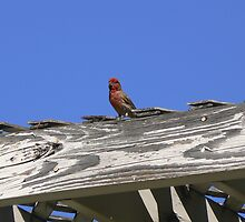finch on rooftop by violetbutterfly