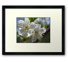 Apple Blossums in Spring Framed Print