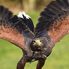 Harris Hawk Flight by M.S. Photography/Art