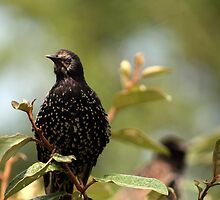 Starling by Damie-anne