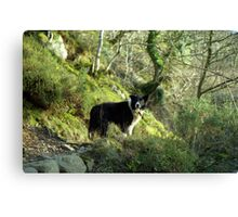 Indy, King of the woods. Canvas Print