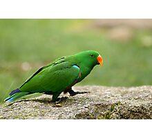 Eclectus Parrot (male)  Photographic Print