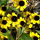 black eyed susans flowers by Sheila McCrea