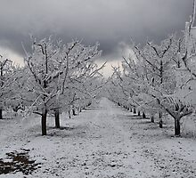 apple orchard 2 by Gale Distler