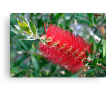 Bottle Brush Tree Blossom Canvas Print