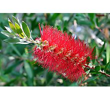 Bottle Brush Tree Blossom Photographic Print