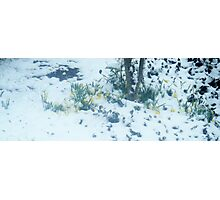 Daffodils in the Snow Photographic Print
