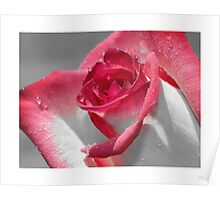 …is a Rose iPhone / Samsung Galaxy Case Poster