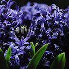 Purple Hyacinth group by bloomingvine