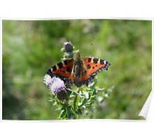 Butterfly on thistle 2 Poster
