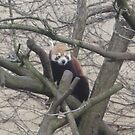 Red Panda by karenuk1969