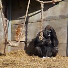 Gorilla at Bristol Zoo by karenuk1969
