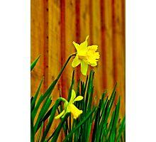 The Daffodils Photographic Print