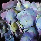 Blue and Purple Hydrangea by bloomingvine