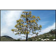 Lovely little pine-tree Photographic Print