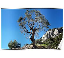 Young olive tree Poster