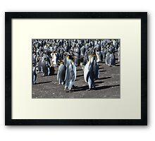 The King Penguin  Colony...... Framed Print
