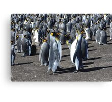 The King Penguin  Colony...... Canvas Print
