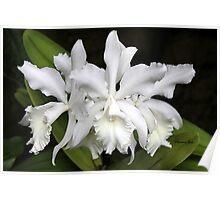 Elegant Orchids ~ Cluster of Three Poster