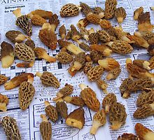 Morel Mushrooms  (Part of Last Years Harvest) by CynLynn