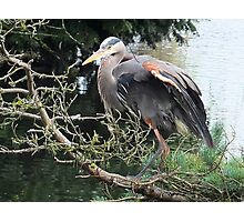 The great blue heron Photographic Print