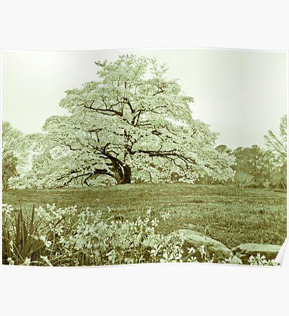 Dogwood Spring Poster