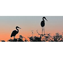 Great Blue Heron - The Rookery Photographic Print