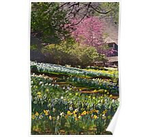 Daffodils at the Farm Poster