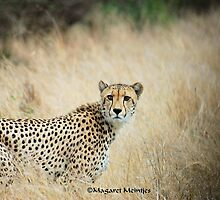 THE CHEETAH - Acin0nyx jabatus, the fastest preditor on earth by Magriet Meintjes