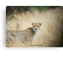 THE CHEETAH - Acin0nyx jabatus, the fastest preditor on earth Canvas Print