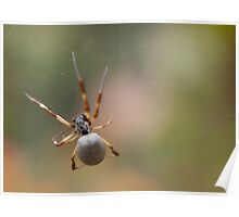 Golden Orb Spider Spinning its Web Poster