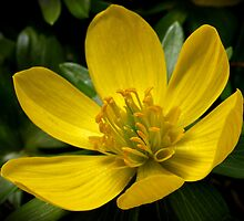 Winter Aconite by Roger Butterfield