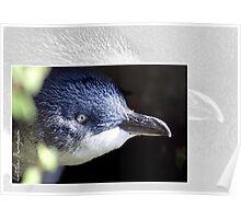 Australian Birdlife - Little Penguin Poster