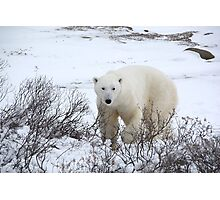 Polar Bear in the Arctic Willow Photographic Print