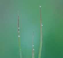 Four blades of grass by laureenr