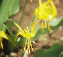 Wildflowers: Glacier Lily and BumbleBee by Andrea Jehn Kennedy