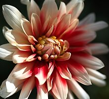 Dahlia Warmth by Joy Watson