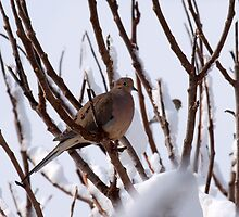 After the Storm-Dove by lloydsjourney