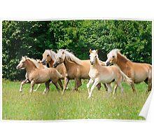 Running herd of Haflingers  Poster