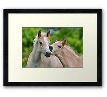 Cuddling Haflinger foals Framed Print