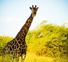 Giraffe at Sucoma Nyala Park, Malawi by Tim Cowley