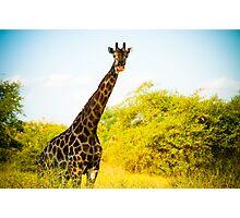 Giraffe at Sucoma Nyala Park, Malawi Photographic Print