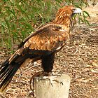 """""""Rex"""", Wedge Tailed Eagle, Raptor Domain. by Mel1973"""