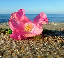 Cape Cod Rose Hip Blossom on the Beach (Peaked Hill Bars, Provincetown) by Christopher Seufert
