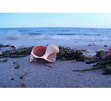Whelk at Forest St. Beach (Chatham, Cape Cod) Photographic Print