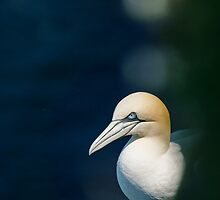 Gannet by kt-photography