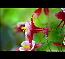 Aquilegia - Columbine Origami Red And White | Upper Brookville, New York by © Sophie W. Smith