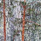 28.2.2015: Pine Trees and Sleet I by Petri Volanen