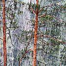 28.2.2015: Pine Trees and Sleet II by Petri Volanen