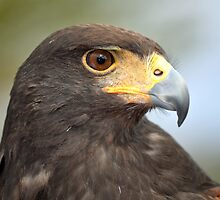 Harris Hawk Profile by Judy Grant